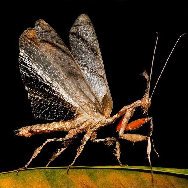Bogomolov ljubitelje duh često uzgaja insekata i terarijum.