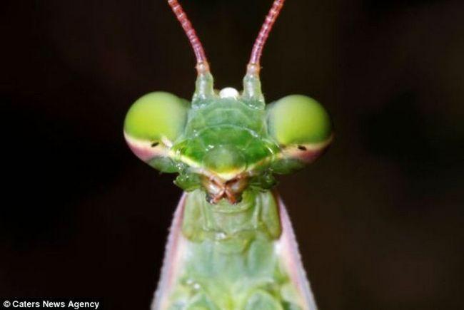Mantis sa neobičnim bojama, kao osmeh, našao u Francuskoj