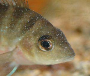 Bolest akvarij riba - griz