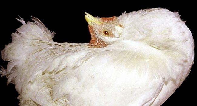 Болезнь марека у кур (паралич марека, нейролимфоматоз)
