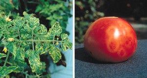 Болезни и вредители томатов (помидор)
