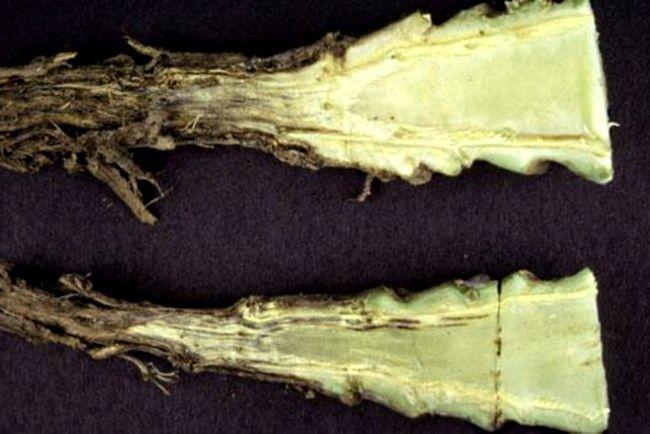 bolezni Kapusty