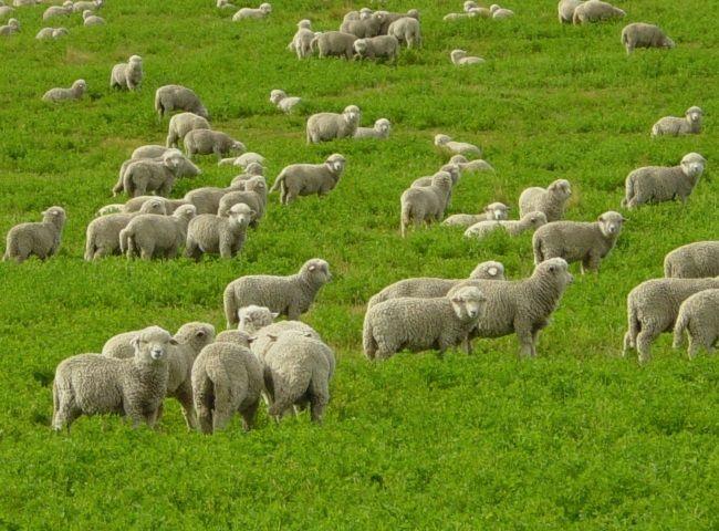 Болезни овец