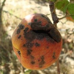 Болезни плодов при хранении