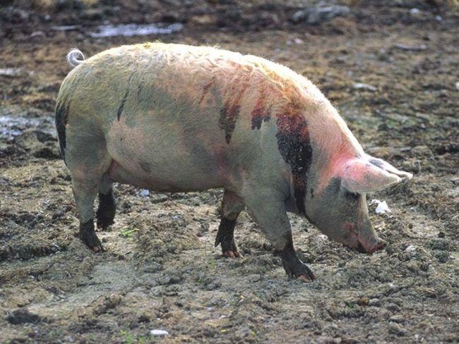 nezaraznye bolezni svinej