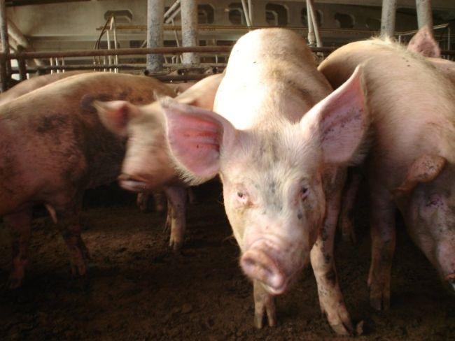 kozhnye bolezni svinej