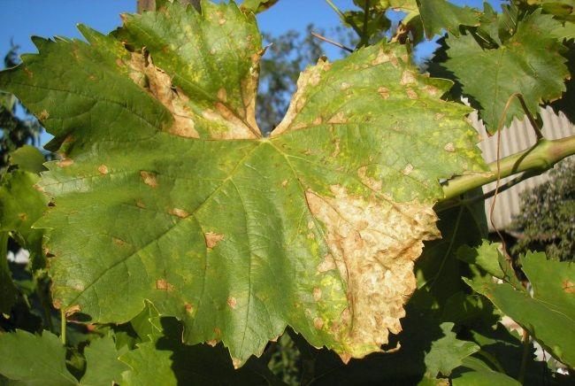 bolezni vinograda osen`ju