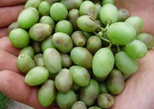 bor`ba s boleznjami vinograda