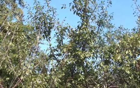 Болезни вишни и их лечение, полезные советы