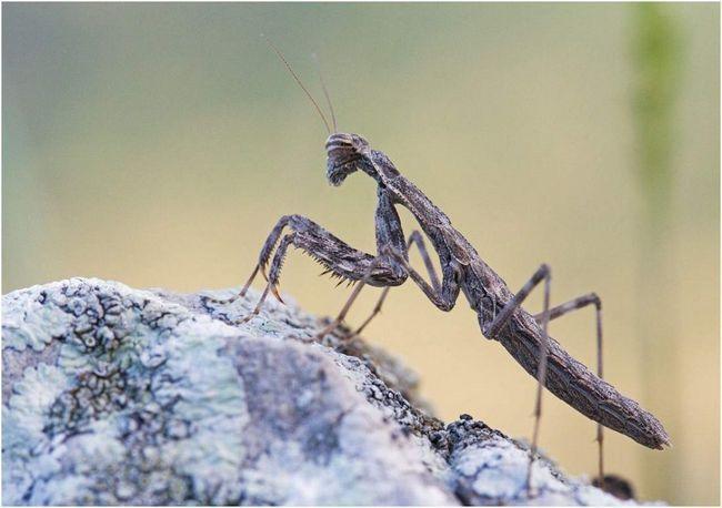 Bolivar hrane insektima, koji apsorbuje odmah nakon što je uhvaćen.