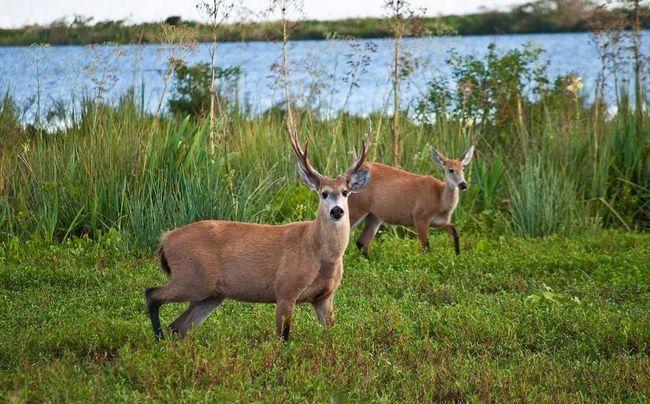 Болотный олень потребляют в пищу кувшинки и другие листья.