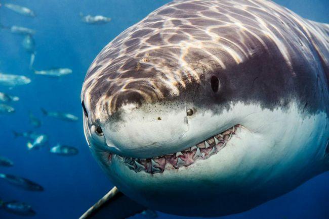 Большая акула - настоящее ископаемое животное.