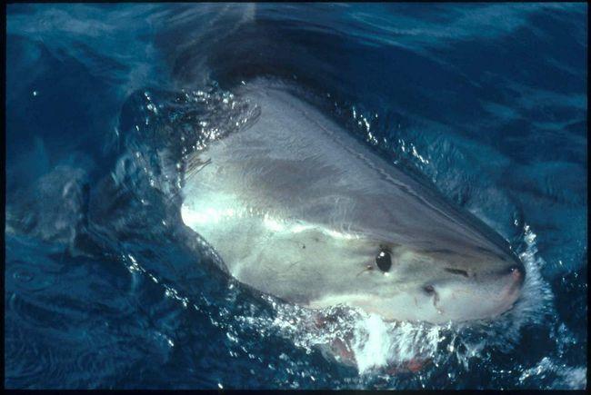 В пасти у белой акулы не поздоровится никому!