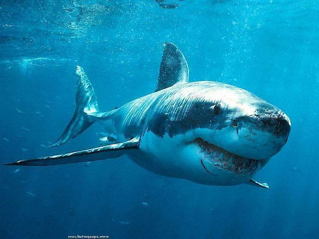 Для людей эта рыбина несет огромную опасность, особенно для дайверов.