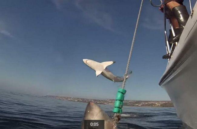 Белая акула разделала популярность в кадре со своей родственницей.