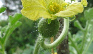 Цветение арбуза, floraprice.ru