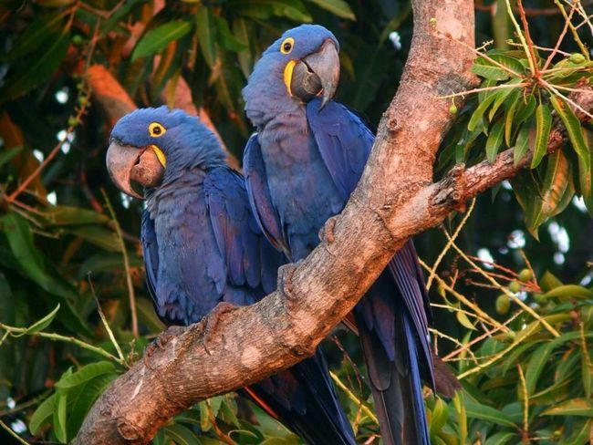 У этих ара очень громкий и резкий голос.