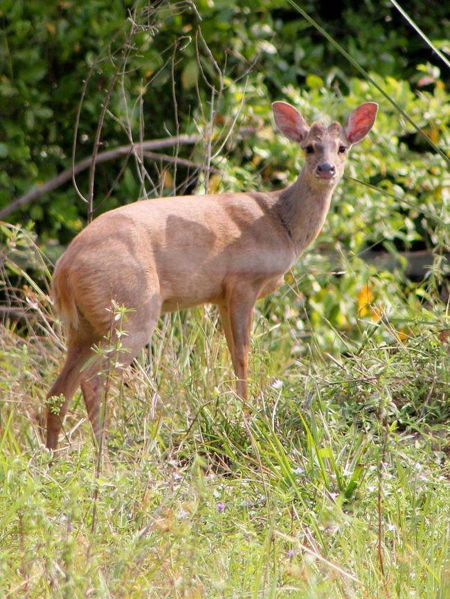 Мазамы - род парнокопытных млекопитающих семейства оленей.