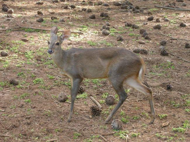 В разных странах олени мазама размножаются в разный период времени.