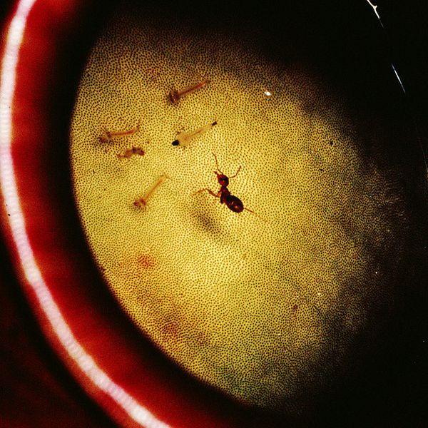 Leaf-rezanje mrava