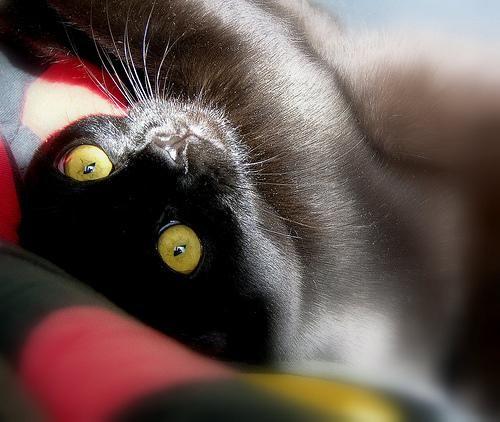 Бомбейская кошка (Bombay Cat), порода короткошерстных кошек.