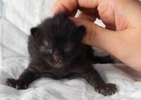 бомбейский котенок цена