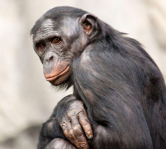 Карликовый шимпанзе, или бонобо (Pan paniscus).