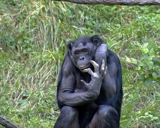 У бонобо - строгий матриархат. Самцы играют второстепенную роль.
