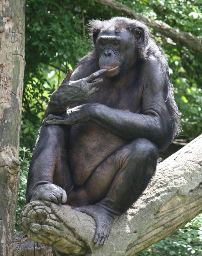Бонобо - всеядные обезьяны.