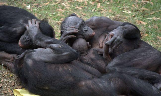 Отношения в семье бонобо во многом похожи на людские отношения между мужчиной и женщиной.
