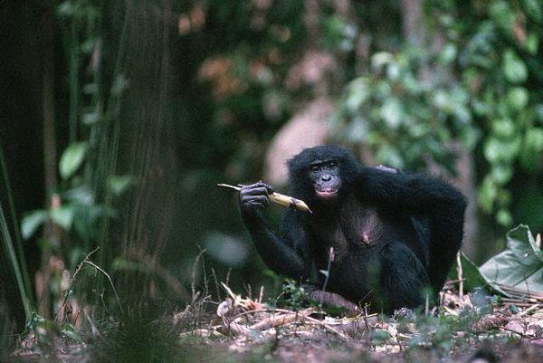 Čimpanza Bonobo sa komadom šećerne trske