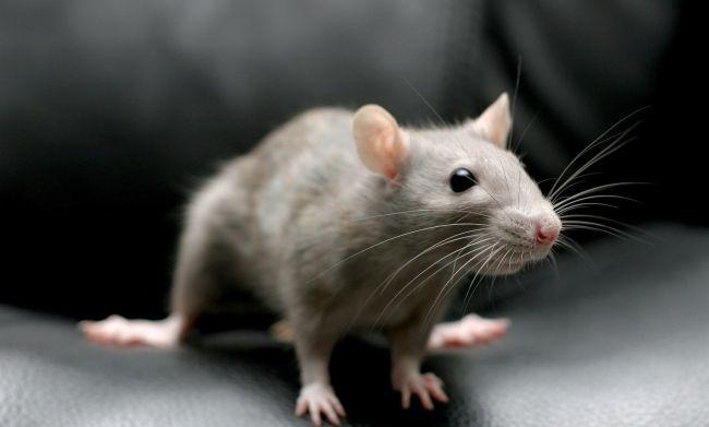 Борьба с крысами: основные средства и методы