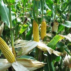 Борьба с сорняками на кукурузе