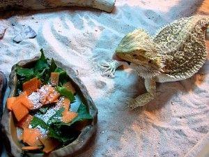 bradati zmaj hranjenje