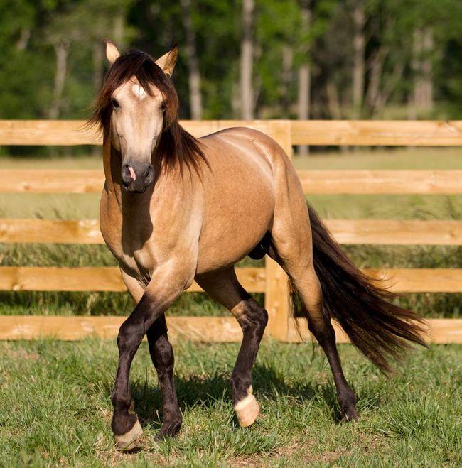 Preci su bili Brumby konje različitih rasa, tako da očigledno nisu uniformu.