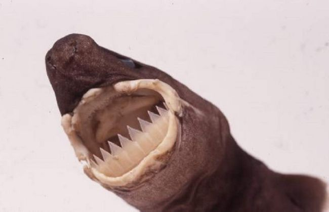 Светящиеся бразильские акулы являются факультативными эктопаразитами.