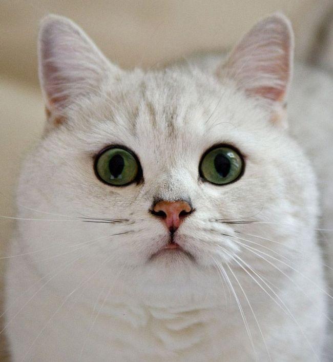 Britanska kratkodlaka mačka.