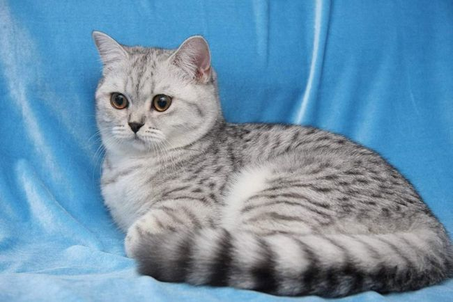 U 19. stoljeću Britanci žena miješati sa perzijski mačke da bi im kosa ljepše.