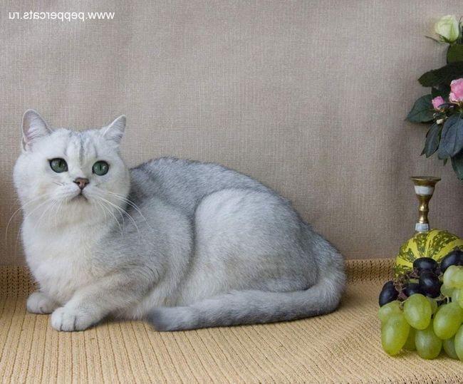 Britanska kratkodlaka mačka - fluffy šarm.