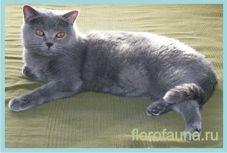 Britanskayakorotkosherstnaya mačka