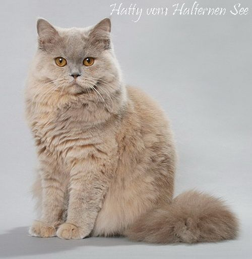 британская длинношерстная британская длинношерстная кошка