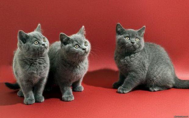 Британские кошки и маленькие дети