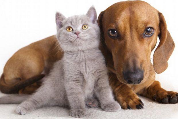 Британские кошки и собаки