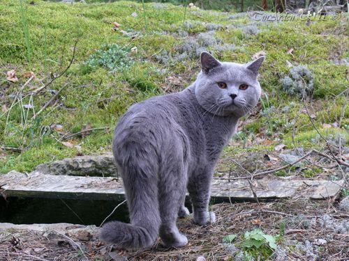Британские кошки на даче: правила безопасности