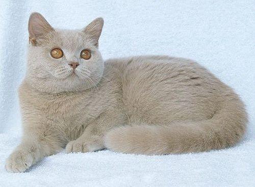 Fawn cat fotografija
