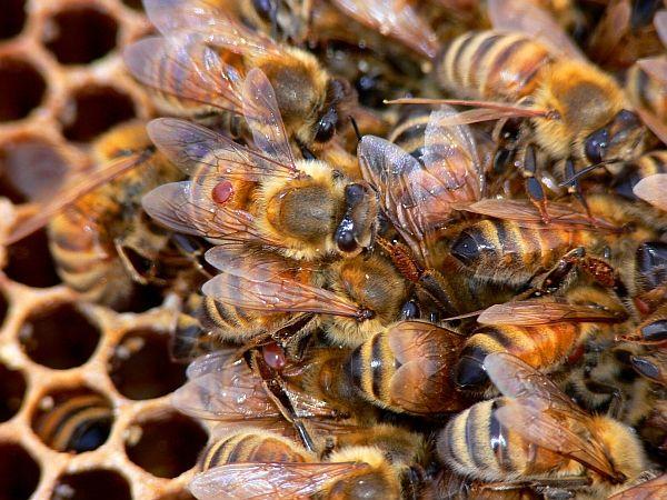 На снимката BugMan50 кърлежи може лесно да се види на гърба на работните пчели.