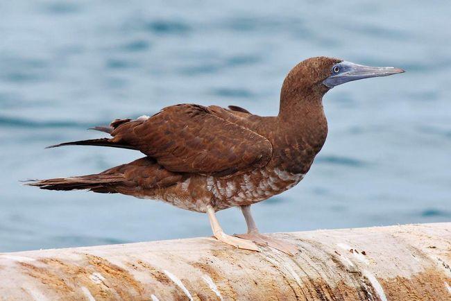 Бурая олуша — морская птица.