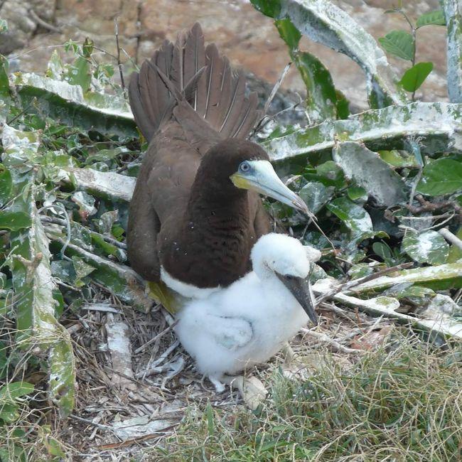 Мать и птенец бурой олуши.