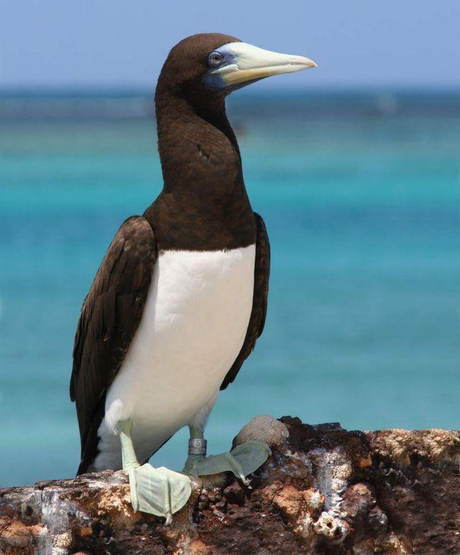 Гнездовые колонии олушей находятся на тропических островах.