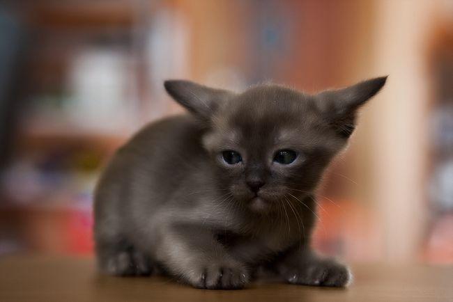 burmanski mačka